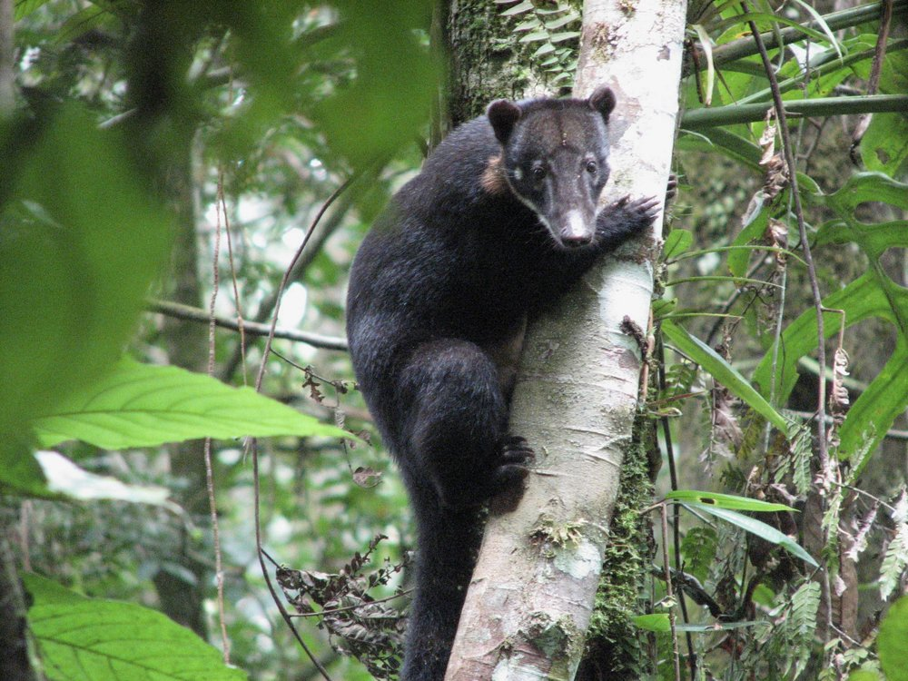 The  South American coati, or ring-tailed coati ( Nasua nasua ), is a member of the raccoon family.