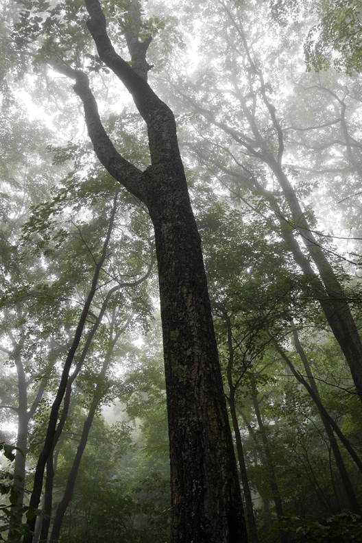 """Reach for the Sky"" - A foggy forest. Shenandoah National Park, Virginia."