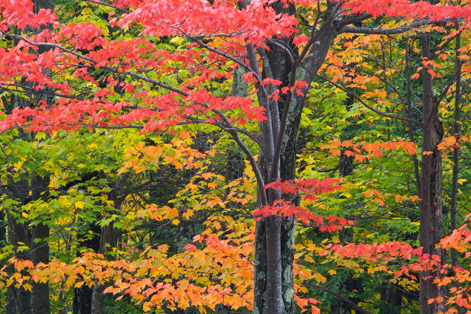 """""""The Red Dress"""" - Sugar maple trees changing color in autumn, West Virginia."""