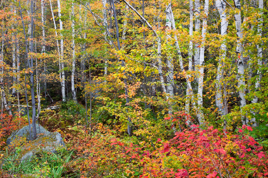 """Beauty in Chaos"" - Birch trees and autumn foliage. Groton State Forest, Vermont."