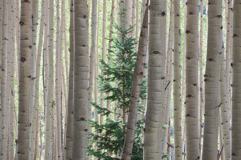 """One of Us"" - A lone evergreen among Aspen Trees. Colorado."