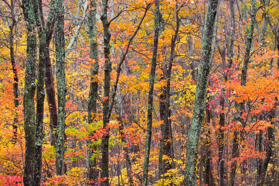 """Autumn"" - A jumble of lichen covered trees in autumn. Shenandoah National Park, Virginia."