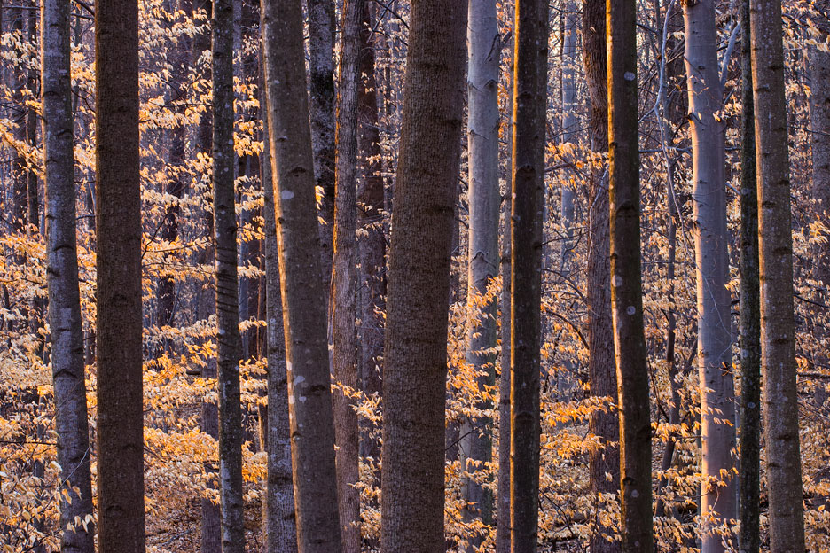 """Beech Forest at Sunset"" - The last rays of warm light kissing a winter beech forest. Scott's Run Nature Preserve, Virginia."
