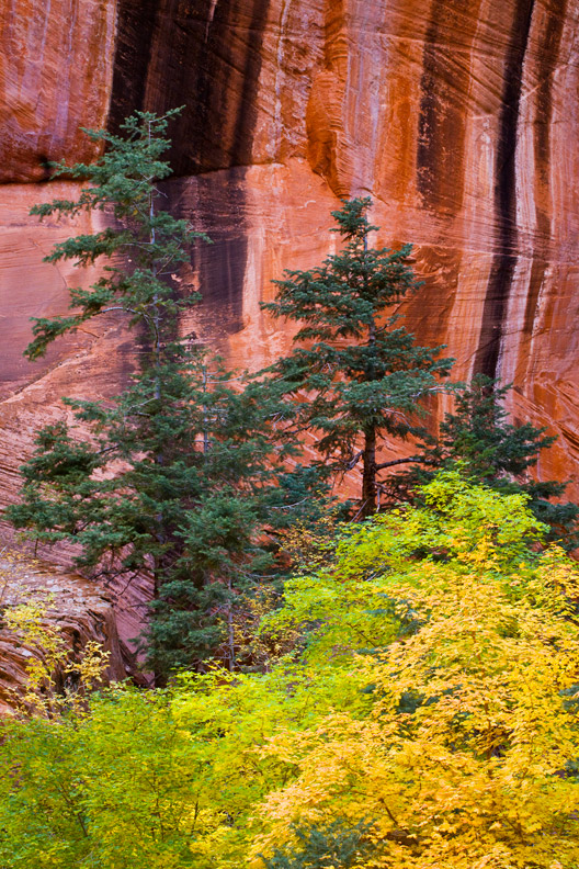 """""""Desert Oasis"""" - Evergreen and deciduous trees growing under the shelter of canyon walls, Zion National Park, Utah."""