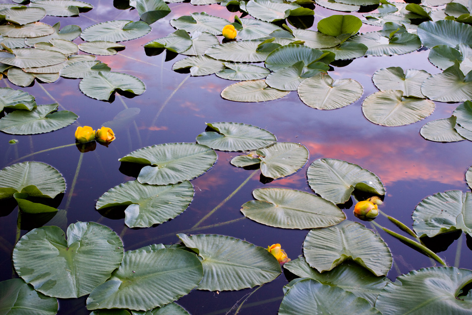 """""""Summer Tarn"""" - Lily pads during sunset in a high altitude tarn in the San Juan mountains, Colorado."""