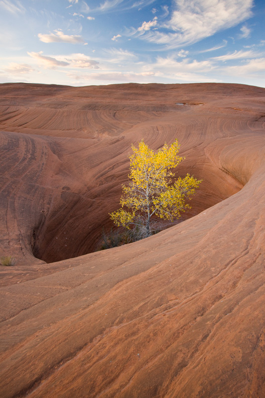 """Pothole of Life"" - A lone cottonwood tree in autumn growing from inside a large pothole in sandstone. Utah."
