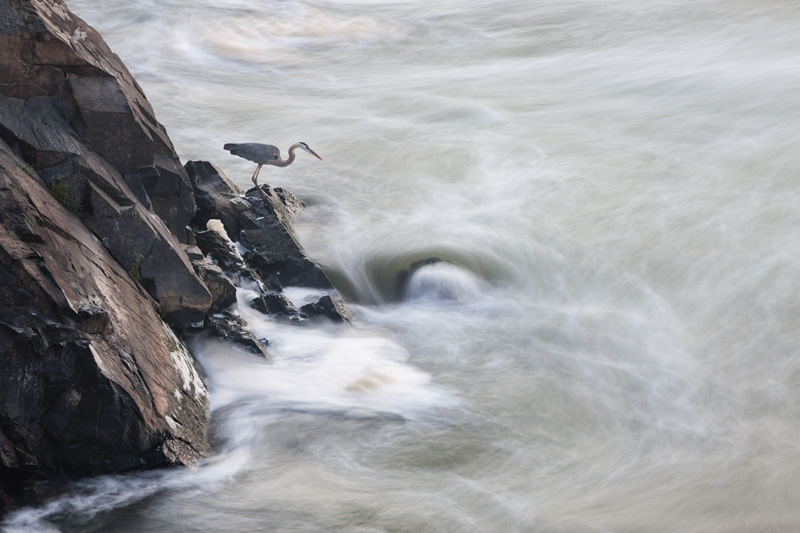 """Hope Remains"" - Great Blue Heron fishing in Great Falls National Park, Virginia, United States."
