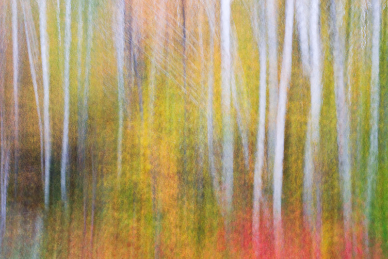 Autumn Birch Pan Blur, Groton State Forest, Vermont, United States.
