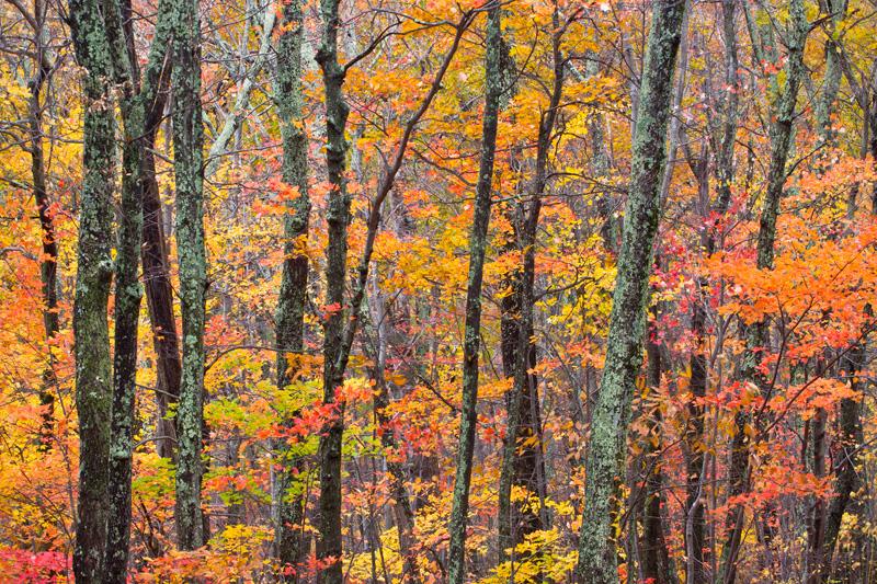 Autumn Kaleidoscope, Shenandoah National Park, Virginia, United States.