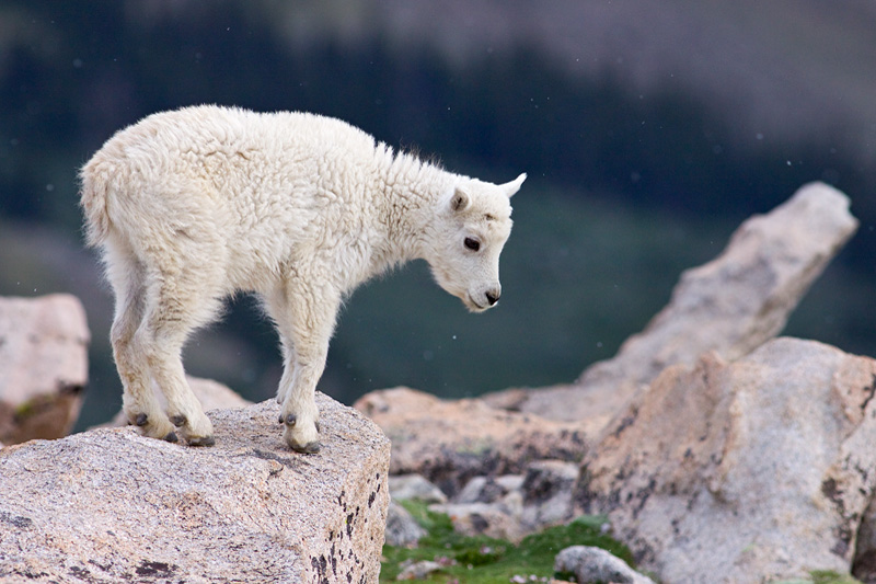 Mountain Goat (Oreamnus americanus) Kid Standing at a Rock's Edge in a Snow Storm, Mt. Evans, Colorado, United States.