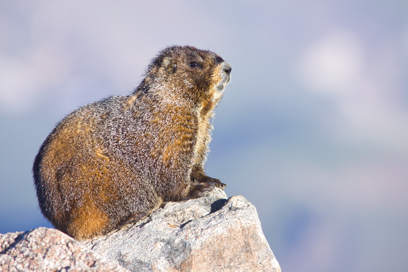 Yellow-bellied Marmot (Marmota flaviventris) Keeping Watch from a Boulder, Mt. Evans, Colorado, United States.