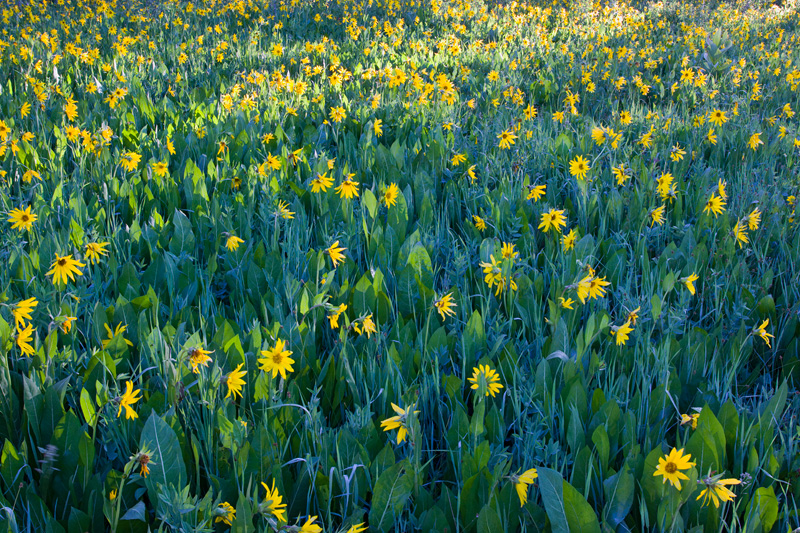 Backlit Field of Mule's Ear Flowers, Gunnison National Forest, Colorado, United States.