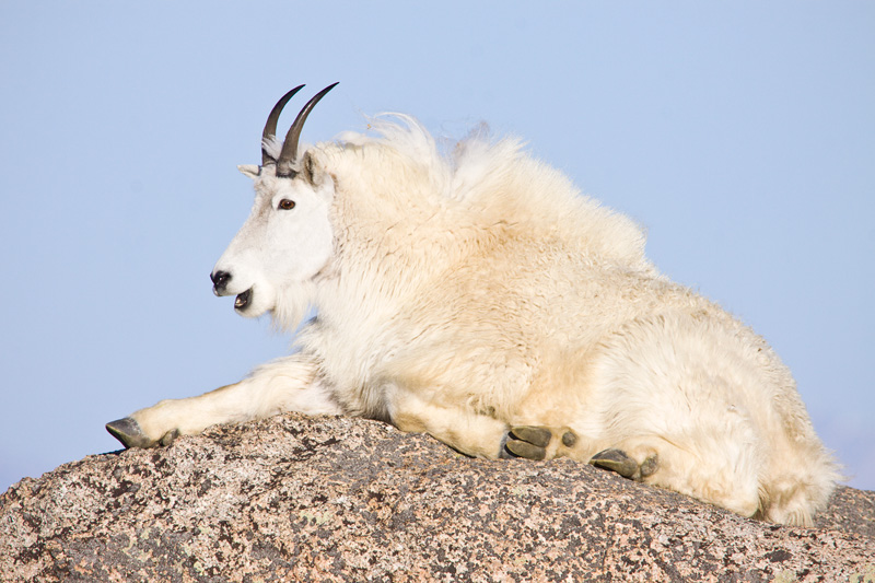 Mountain Goat (Oreamnos americanus) Relaxing on a Large Granite Boulder, Mt. Evans, Colorado, United States.