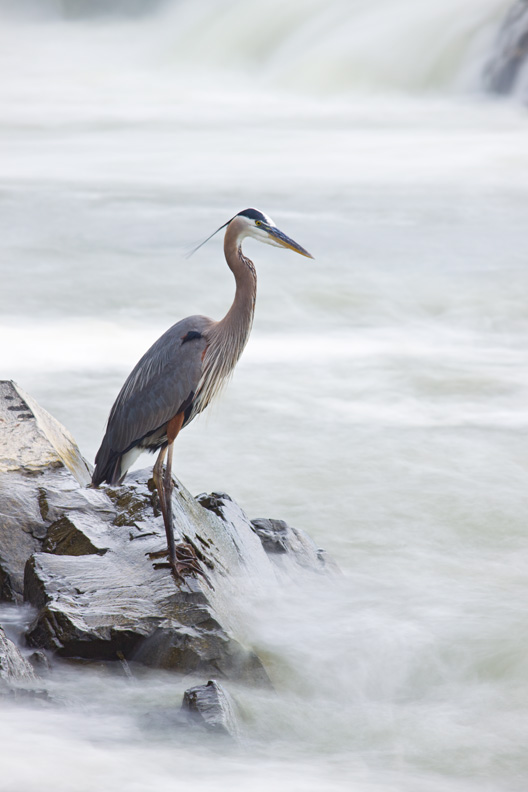 Great Blue Heron of the Mist, Great Falls National Park, Virginia, United States.