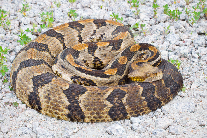 A Coiled up Canebrake Rattlesnake (Crotalus horridus) on Gravel, North Carolina, United States.