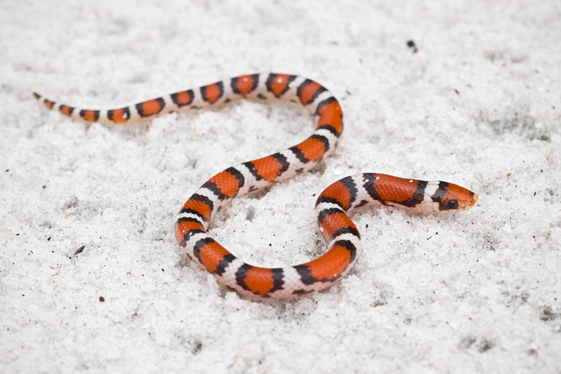 A Young Northern Scarletsnake (Cemophora coccinea copei) Crawling on White Sand, Croatan National Forest, North Carolina, United States.