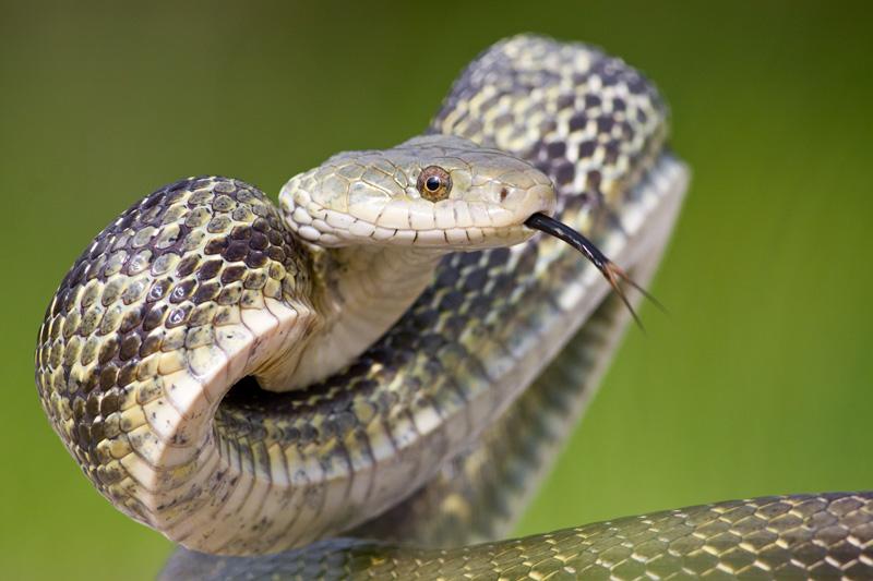 Eastern Rat Snake (Pantherophis alleghaniensis) Rearing up in a Defensive Posture, North Carolina, United States.