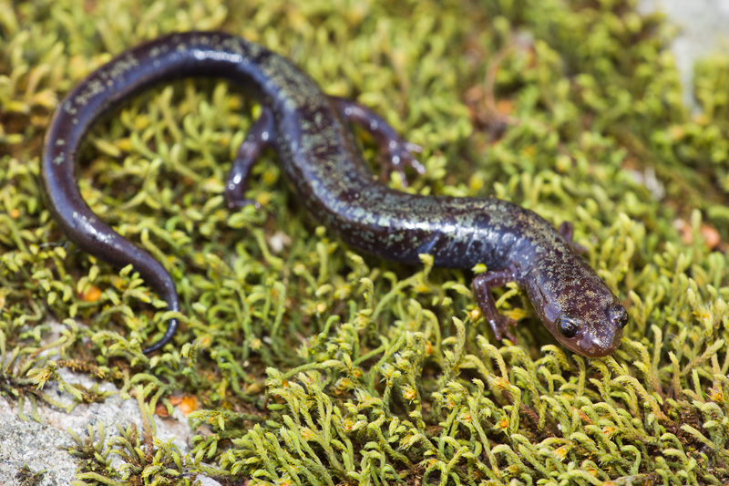 Peaks of Otter Salamander (Plethodon hubrichti) Walking on a Moss Covered Rock, Virginia, United States.