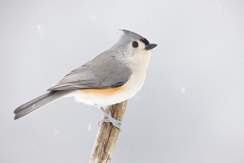 Tufted Titmouse on a Perch During a Snow Storm, Bull Run Mountain Nature Preserve, Virginia, United States.