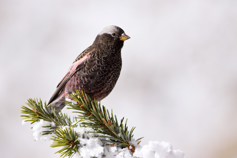 Black Rosy-Finch Perched on a Snowy Evergreen, Sandia Crest, New Mexico, United States.