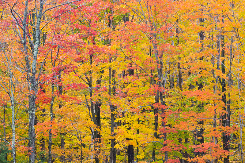 Vibrant Fall Foliage, Green Mountain National Forest, Vermont, United States.