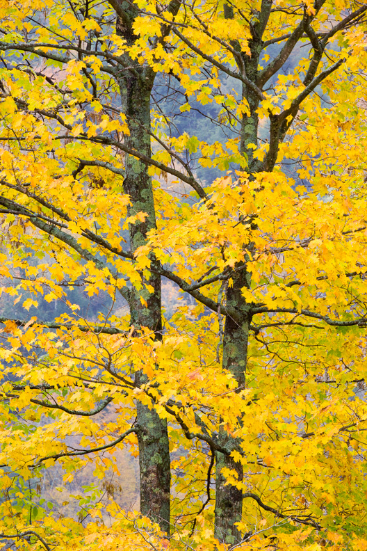 Yellow Maple Tree, Green Mountain National Forest, Vermont, United States.