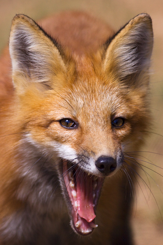 Portrait of a Young Red Fox Yawning, West Virginia, United States.