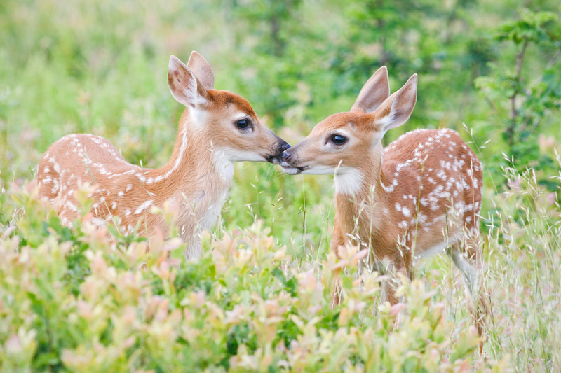 Cute White-tailed Deer Fawn Twins Sniffing Each Other in Big Meadows, Shenandoah National Park, Virginia, United States.