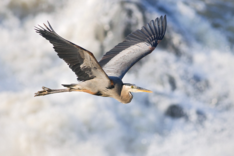 Adult Great Blue Heron in Flight, Great Falls National Park, Virginia, United States.