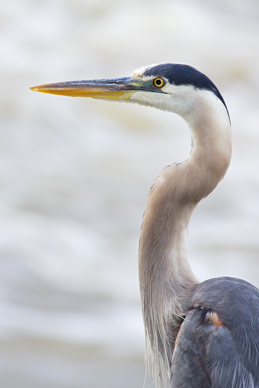 Adult Great Blue Heron Portrait (Ardea herodias), Great Falls National Park, Virginia, United States.