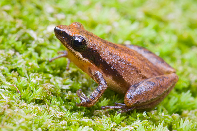 Adult Little Grass Frog (Pseudacris ocularis) standing on green moss in Francis Marion National Forest, South Carolina, United States.