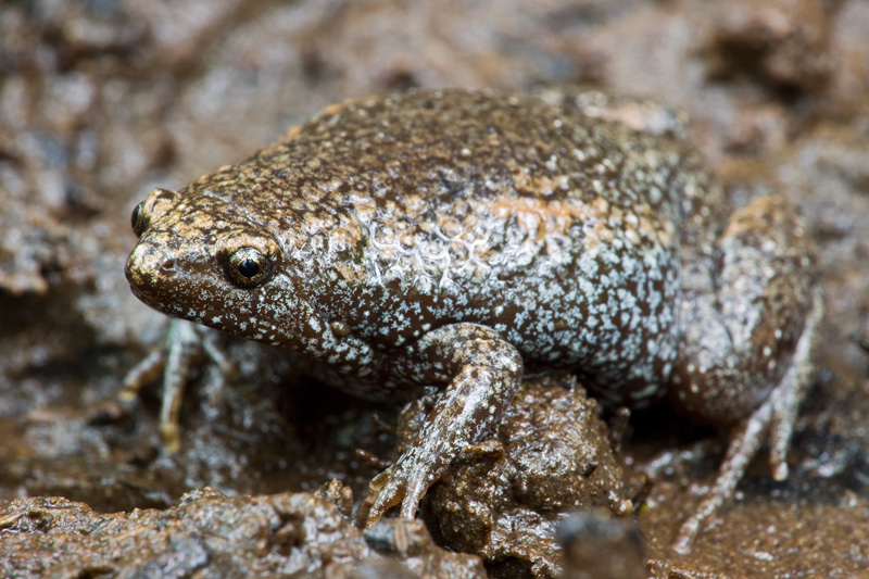 Adult Eastern Narrow-mouthed Toad (Gastrophryne carolinensis)
