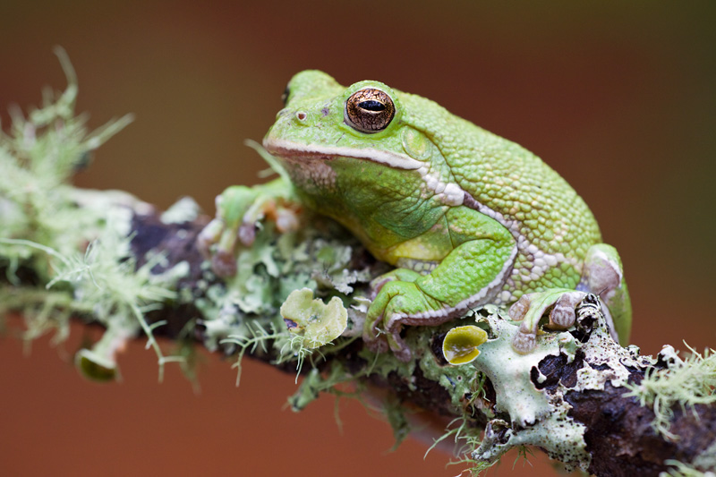 Barking Treefrog (Hyla gratiosa) on a Lichen - covered Branch against a brown and green background, Francis Marion National Forest, South Carolina, USA.