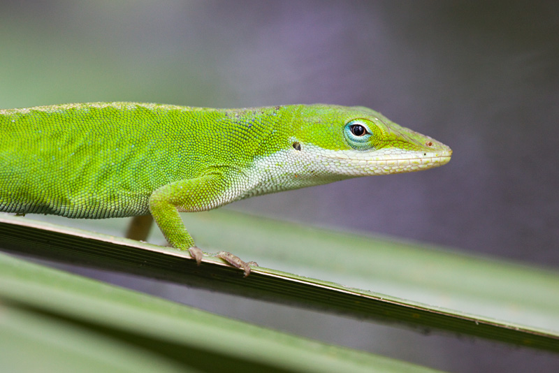 Green Anole (Anolis carolinenensis) portrait on a Palmetto with a pastel colorful background in Francis Marion National Forest, South Carolina, SC, United States.