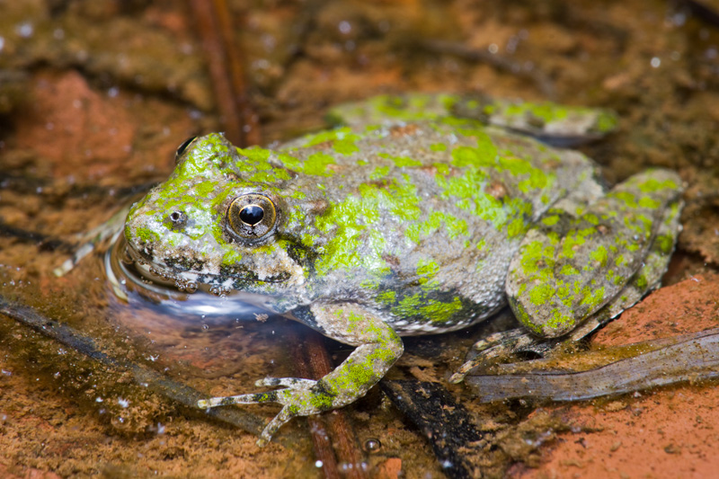 Northern Cricket Frog (Acris crepitans) Standing in Water, Virginia, United States.