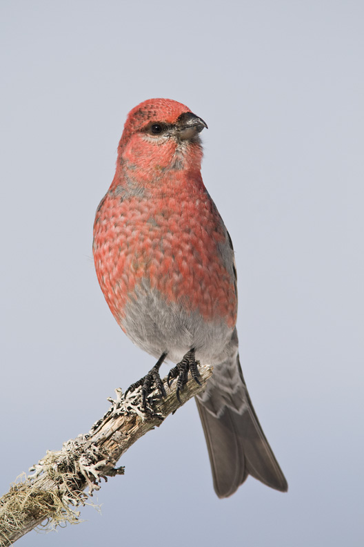 Adult Male Pine Grosbeak on a Lichen Covered Branch, Maine, United States.