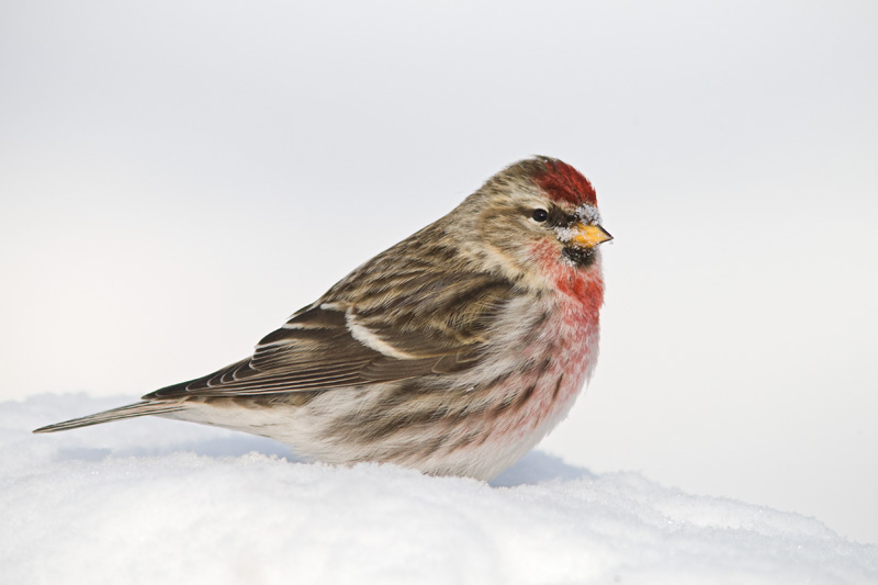 Adult Male Common Redpoll Standing on Snow, Maine, United States.