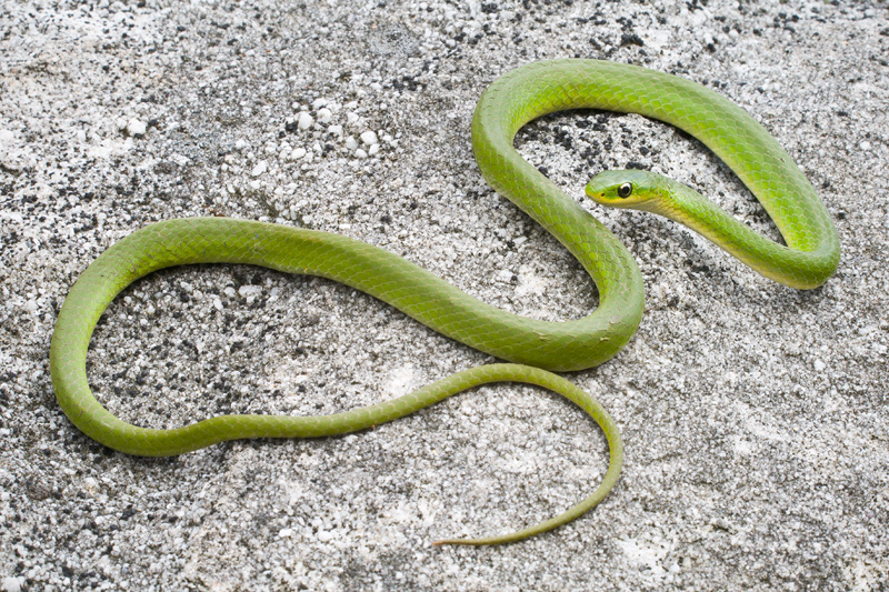 Adult Smooth Green Snake Basking on a Rock, West Virginia, United States.