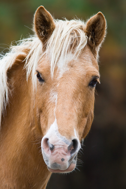 Chincoteague Pony Portrait, Chincoteague National Wildlife Refuge, Virginia, United States.