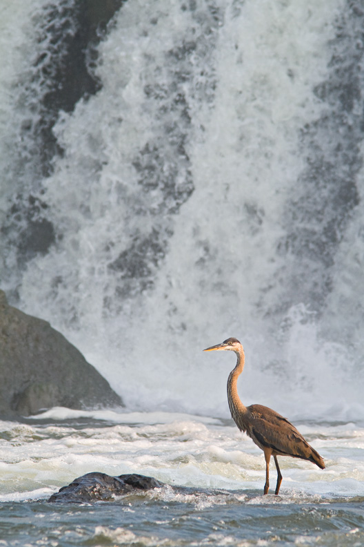 Juvenile Great Blue Heron Standing on a Rock in Front of Falling Water, Great Falls National Park, Maryland / Virginia, United States.