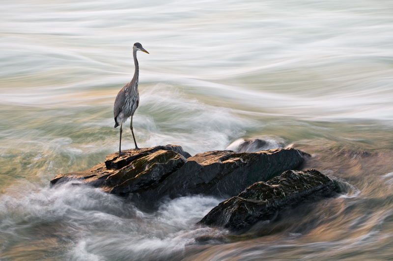 Juvenile Great Blue Heron Standing on a Rock Surrounded by Moving Water at Sunset with Orange Reflections Being Cast at Great Falls National Park, Maryland, Virginia, United States.