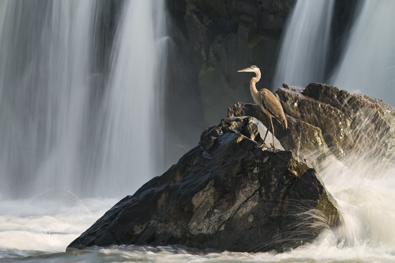 Great Blue Heron Standing on a Rock With a Waterfall in the Background and Waves Crashing Into it at Great Falls National Park, Maryland, Virginia, United States.