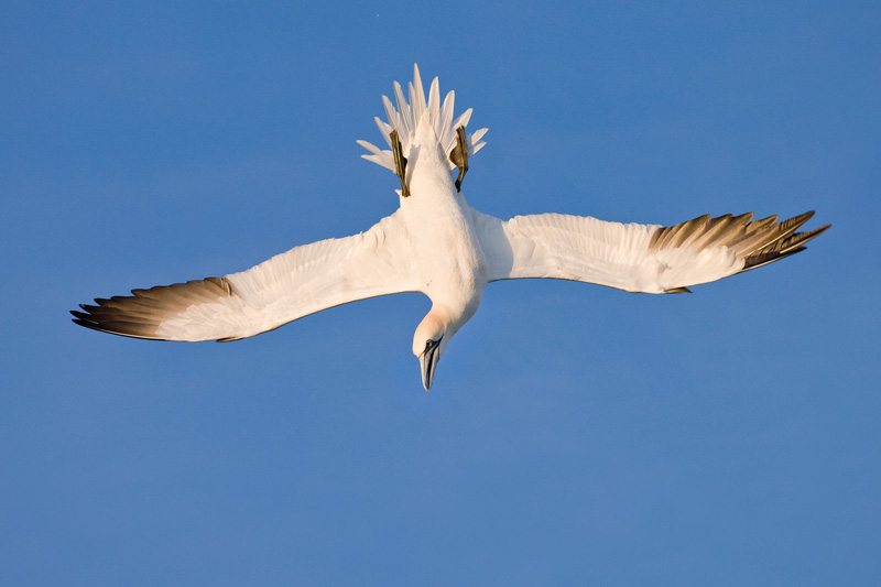 Northern Gannet Diving in Flight, Delaware Bay, Delaware/New Jersey, United States.