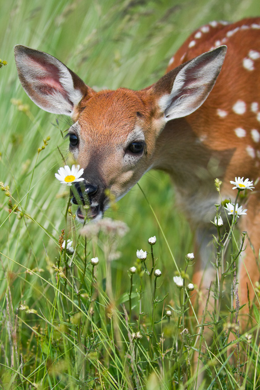 White-tailed Deer Fawn Sniffing Daisies, Shenandoah National Park, Virginia, United States.