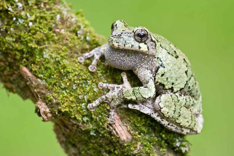 Gray Treefrog in a Green Color Phase on a Mossy Branch, Upstate New York, United States.