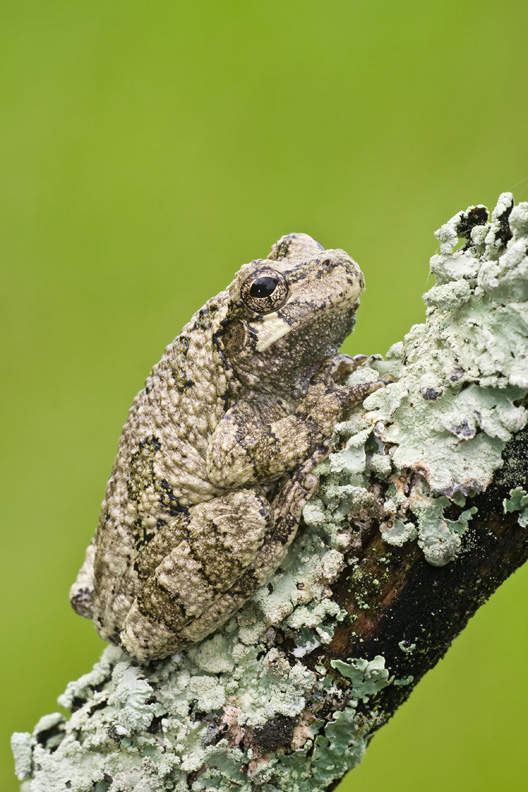 Adult Male Cope's Gray Treefrog, Virginia, United States.