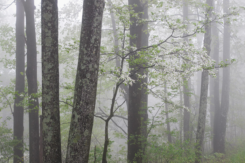 Spring Forest Foliage and Flowering Dogwood Trees in Fog, Shenandoah National Park, Virginia, United States.