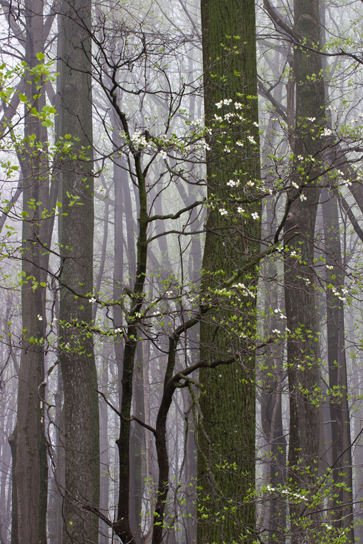 Flowering Dogwood in Fog, Thompson Wildlife Management Area, Virginia, United States.
