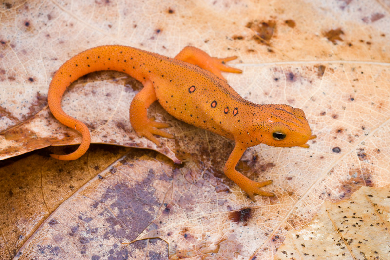 Red Eft (Juvenile Red-spotted Newt) on Wet Leaves, Thompson Wildlife Management Area, Virginia, United States.