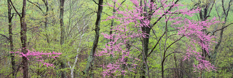 Redbud Panoramic Photo, Shenandoah National Park, Virginia, United States.